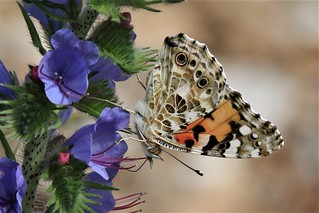 Painted Lady (Vanessa cardui)   on  Viper's Bugloss  .
