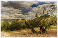 Olivos (bit ramone) Tags: olivo tree árbol moclin granada andalucía andalusia españa spain bitramone paisaje landscape pentax pentaxk3ii