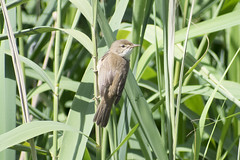 "reedwarbler2 • <a style=""font-size:0.8em;"" href=""http://www.flickr.com/photos/157241634@N04/27812018037/"" target=""_blank"">View on Flickr</a>"