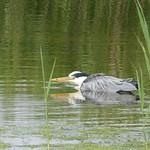 Heron pretending to be a Grebe P1760642 thumbnail
