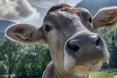 Allgäu Brown Cattle (muman71) Tags: dscf6927 hdr fuji allgäu oberstdorf kuh cow allgäubrowncattle fotogipfel hdrefex