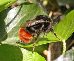 Red-tailed Bumblebee, queen (Bombus lapidarius) (Eyeing moths, mostly) Tags: hymenoptera