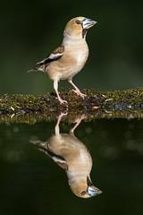 Hawfinch (Bill Richmond) Tags: hawfinch coccothraustescoccothraustes fringillidae finch nikond810 nikon500f4