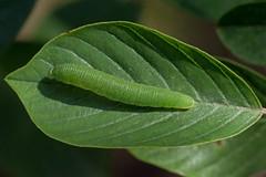 Raupe Zitronenfalter (planetvielfalt) Tags: coliadinae lepidoptera pieridae sachsenanhalt deutschland