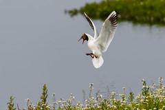 721A8935 (Chris Clicks Photography) Tags: bird birdphotography birdwatching birds canon canon7dmkii canonef100400f4556lisiiusm canon7dmarkii martinmere photo photography wildlife wildlifephotography canon100400usmii canon7dmark2