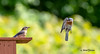 Merlebleu de l'Est - Eastern Bluebird (MichelGuérin) Tags: coc 2018 birds canada clubdesornithologuesdechâteauguay easternbluebird exterior extérieur juin lightroomcc merlebleudelestsialiasialis michelguérin nature nikon nikonafsnikkor200500mmf56eedvr nikond500 oiseaux qc québec