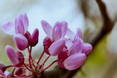 Magic Garden 5 (jdelaobra) Tags: canon6d canoneos6d tokina100mmf28macro tokinaatxpro macrofotografía macrophotography macro pink rosa garden jardín flower blossom flor floración spring primavera