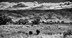 Bishop, CA (hermitsmoores) Tags: fx us395 animal bishop blackwhite bw california cows d800 fullframe nikon nikond800