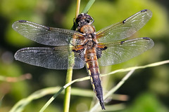 dragonfly (Paul Wrights Reserved) Tags: dragonfly dragonflies wings wing vein veins macro insect insects macrophotography nature naturephotography thorax tail seethrough