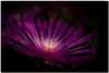 Dahlia (take 2) (Doede Boomsma) Tags: universiteit hortus macro utrecht klokhuis purple stamens leafs yellow white bokeh
