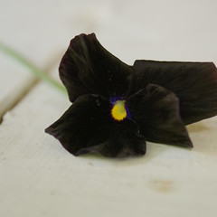 BlackVelvet (obsequies) Tags: pansy pansies black velvet blackandwhite goth garden gothgarden gothgardener purple grunge punk zombie horror creepy pretty delicate mood moody aesthetic life nature shabby chic halloween spooky petals bokeh light flower flowers dream dreamy daydream