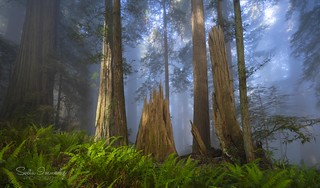 Blue Fog in the Forest. ( Del Norte Redwoods SP, Crescent City, CA)