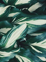 (Andrei Grigorev) Tags: plant botanical leaves hosta nature garden abstract pattern texture