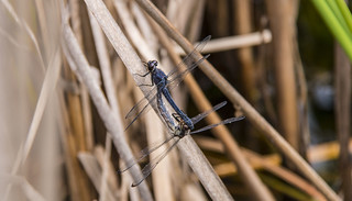dragonfly-mating
