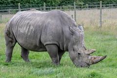 Rhino (Trev Green) Tags: rhino nikon sigma knowsley wildlife animal safari