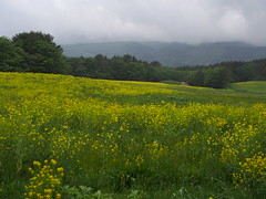 in a gentle rain (murozo) Tags: gentle rain field rape blossom grass cloud tree yellow yurihonjo akita japan 雨 hill 菜の花 黄 花 草 木 雲 由利本荘 秋田 日本 丘