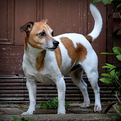 My Fine Fella' (c.marney) Tags: jack russell terrier