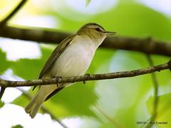 Catching the Red-eye (robberfly12) Tags: bird pennsylvania vireoolivaceus migrant songbird minolta400f45apo