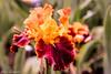 Red Flamenco (Yuri Dedulin) Tags: 2018 color flowers flowersandplants iris montcalir nj nature newjersey presbymemorial yuridedulin garden