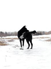 Kilcona Park (michaeldantesalazar) Tags: winter dog winnipeg snow blackdog nature blackandwhite shepherd newfoundland bordercollie mutt contrast dark manitoba canada