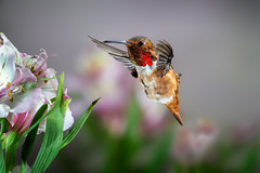 Still Sweet! (Patricia Ware) Tags: 500mmf4lisusm allenshummingbird alstroemeria backyard birdsinflight california canon fullframe manhattanbeach multipleflash selasphorussasin tripod ©2018patriciawareallrightsreserved specanimal sunrays5