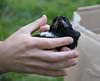 Eye-contact (Helena Johansson 71) Tags: fs180603 ogonkontakt eyecontact fotosondag bird magpie chick wildlife wildbirds sweden nature outdoors nikond5500 d5500 nikon