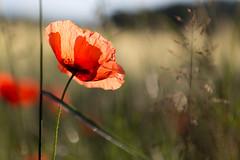 Shiny Poppy