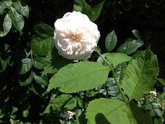 Rose flower, роза (Anna Gelashvili) Tags: цветокроза роза rose flower цветок flowers цветочки garden roseflower ვარდი თეთრი leaf лист ფოთოლი macro макрос თეთრივარდი