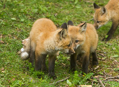 IMGL1379 Pugwash Red Fox Kit(s) (Wallace River) Tags: foxes novascotia pugwashfoxes redfoxes