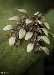 Miniature orchid: Acianthera cogniauxiana (Daniel Mclaren .:. Naturalist Guide CR) Tags: costarica orchid danielmclaren aciantheracogniauxiana insituphotography