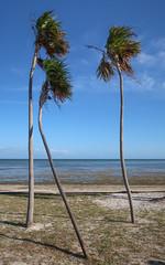3 tourism-surrealism ocean trees. (Tim Kiser) Tags: 2017 20170413 3palmtrees 3trees april april2017 arecaceae atlanticocean atlanticoceanlandscape florida floridakeys floridakeyslandscape floridalandscape img9303 littleduckkey littleduckkeylandscape monroecounty monroecountyflorida overseashighway palmae us1 ushighway1 usroute1 veteransmemorialpark algae beach beachlandscape bent benttree benttreetrunk coastlandscape coastallandscape coastlinelandscape crooked crookedtree crookedtreetrunk crookedtrunk floatingseaweed landscape oceanlandscape palmtreelandscape palmtrees palms park parklandscape seascape seaweed skinnytreetrunks skinnytrunks southflorida southernflorida threepalmtrees threetrees trees tropicallandscape tropicalplants