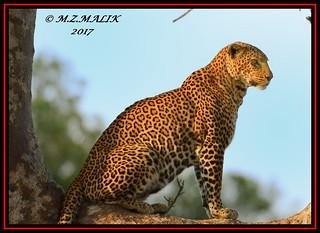 LEOPARD (Panthera pardus) ...MASAI MARA.....SEPT 2017