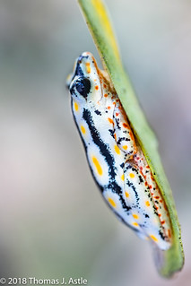 Painted Reed Frog, Hyperolius sp., Mozambique