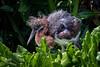 "Tricolored heron chick looking ""fluffy"" (spensered) Tags: wakodahatcheewetlands bird heron"