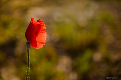 Unica (AvideCai) Tags: avidecai tamron2470 flores color otras