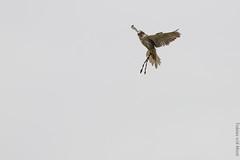 IMG_3016 (TvdMost) Tags: falcon falconidae falconiformes fotografieworkshop valk valkerijschaap birdofprey roofvogel