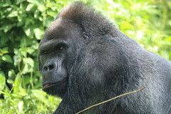 Jock (charliejb) Tags: jock westernlowlandgorilla gorilla gorillaisland gorillagorilla black fur furry furred 2018 bristolzoo bristol clifton wildlife greatape ape bristolzoogardens