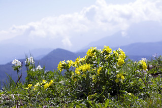 Wild flowers of high mountains