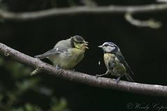 Blue Tit-6342 (WendyCoops224) Tags: 100400mml 80d canon eos gardenbirds springwatch ©wendycooper