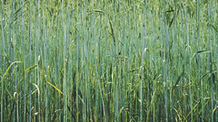 wheat (Jos Mecklenfeld) Tags: sellingen terborg westerwolde groningen nederland niederlande netherlands forest wald bos ruitenaa river rivier fluss nature natur natuur hiking wandern wandelen sonya6000 sonyilce6000 sonyepz1650mm selp1650 nl tarwe wheat weizen