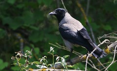 Hooded Crow 150518 (1) (Richard Collier - Wildlife and Travel Photography) Tags: birds wildlife naturalhistory nature hoodedcrow crow