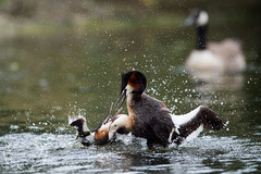 _DSC6529 (Bartek Olszewski) Tags: grebe birds ducks nature nikon nikond4s natureperfectionthernature perkoz wildlifephotography water