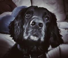 My baby!!! (Kakeart) Tags: cocker spaniel dog pet animal portrait samsungs9