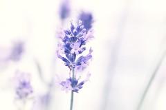 dreamy garden queen (jrene1962) Tags: lavender hss