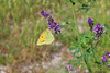 Colias crocea (Carla@) Tags: coliascrocea pieridae lepidotteri farfalle butterflies wildlife nature liguria italia europa mfcc canon