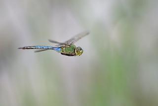 Common Green Darner, male