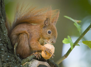 Nutty squirrel