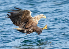 White Tailed Eagle - Haliaeetus albicilla (rosebudl1959) Tags: 2018 birds mull scotland lochtuath whitetailedeagle