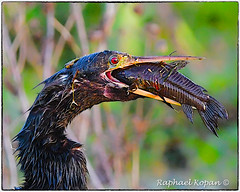 Anhinga with armored catfish (RKop) Tags: circlebpreserve nikkor600f4evr 14xtciii raphaelkopanphotography florida nikon wildlife