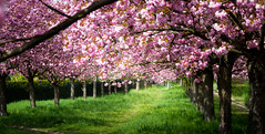 ベルリン近郊の桜の祭典 (Beppe Rijs) Tags: cherry blossoms kirschbäume berlin spring frühling japan germany wall border strip beauty beautiful sakura steglitz teltow hanami mavic schönheit romantik friendship trees avenue parkway park pink tree color colored green may